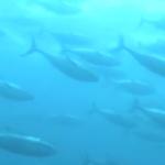 太平洋クロマグロの資源管理が、2018年から罰則を伴う規制を導入し、資源管理を強化していくことに