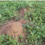 ヒアリがアリ塚を作る場所、ヒアリの巣や危険性などについて
