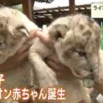 香川県東かがわ市の『しろとり動物園』で生まれたライオンの赤ちゃんが2017年7月1日から公開